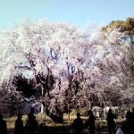 六義園のしだれ桜2012